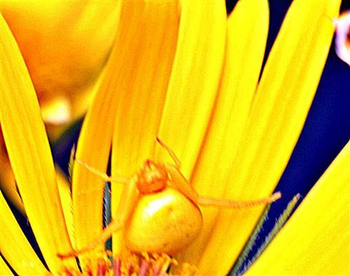 Veränderliche Krabbenspinne(Misumena vatia(Clerck 1757))(weiblich) in einer gelblichen Blüte