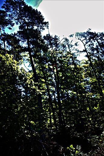 Rotbuche(Fagus sylvatica(L.))[Bildmitte] mit kahler Gipfelregion(!)