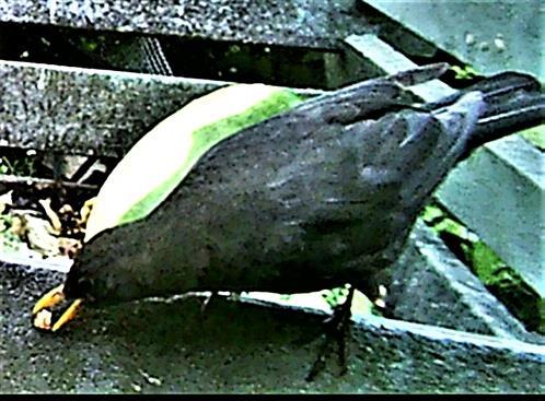 Weibliche Amsel(Turdus merula(L. 1758)) am Rande des Komposthaufens