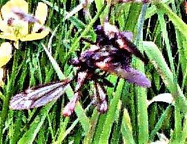 Gewürfelte Tanzfliegen(Empis tesselata(Fabricius 1794)) in Kopulation mit einer Tipula cava als Brautgeschenk