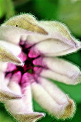 Sich öffnende Knospe einer Clematis-Blüte