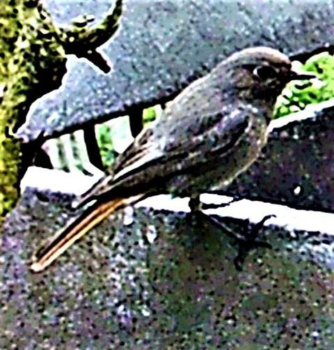 Hausrotschwanz(Phoenicurus ochruros(S. G. Gmelin 1774)) weiblich 02