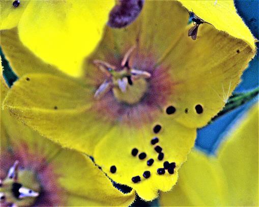 Blüte eines Punktierten Gilbweiderichs(Lysimachia punctata(L.)) mit einzelnen Samenkörnern