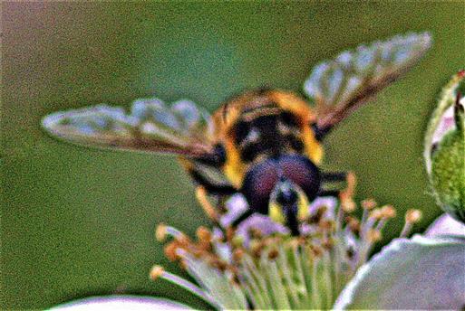 Gemeine Dolden- oder Totenkopfschwebfliege(Myathropa florea(L. 1758))