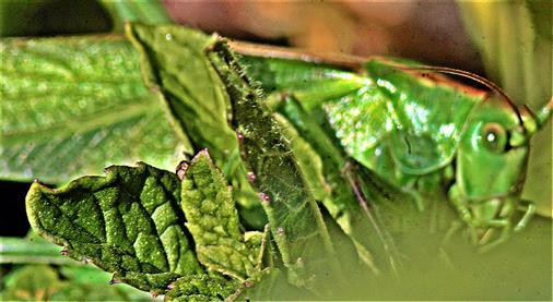 Großes oder Grünes Heupferd(Tettigonia viridissima(L. 1758))