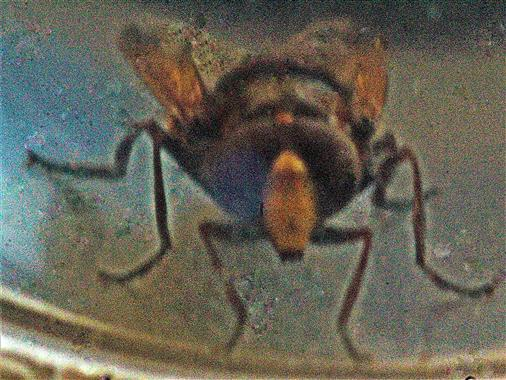 Hornissenschwebfliege(Volucella zonaria(Poda 1761))