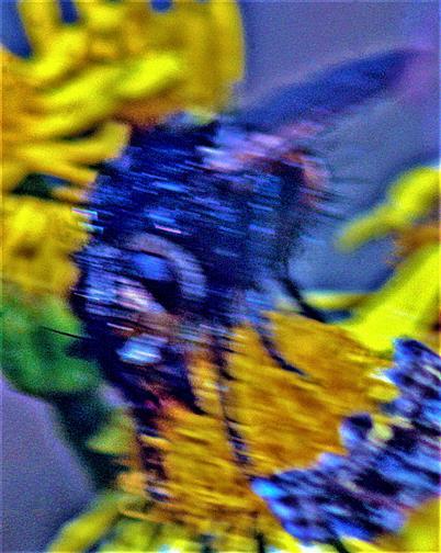 Igelfliege(Tachina fera(L. 1761))