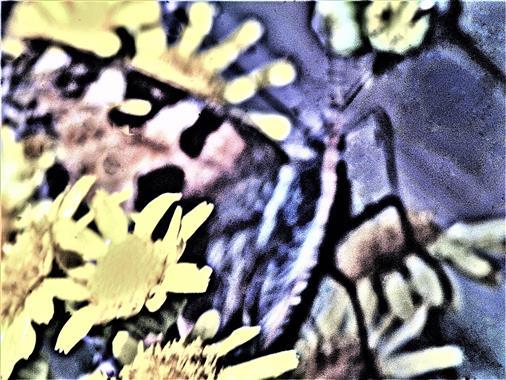 Kleiner Fuchs(Aglais urticae(L. 1758)) beim Blütenbesuch