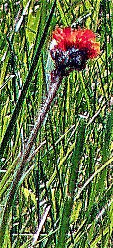 Blüte des Orangeroten Habichtskrauts(Hieracium aurantiacum(L.))