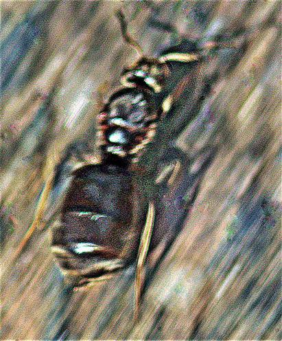 Ameisenkönigin der Schwarzen Wegameise(Lasius niger(L. 1758)) unterwegs