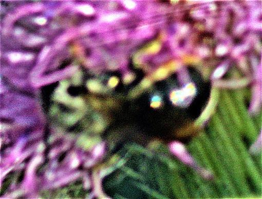 Weiden-Sandbiene(Andrena vaga(Panzer 1799)) beim Besuch einer Blüte der Gewöhnlichen Kratzdistel(Cirsium vulgare(L.))