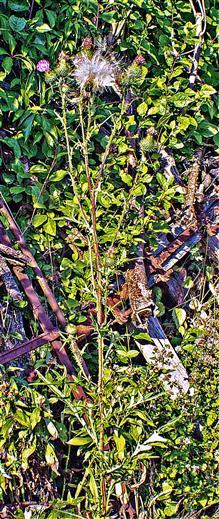 Gewöhnliche Kratzdistel(Cirsium vulgare(L.))