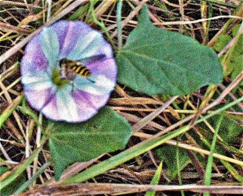 Blüte einer Acker-Winde(Convolvulus arvensis(L.)) mit einer Großen Schwebfliege(Syrphus ribesii(L. 1758))