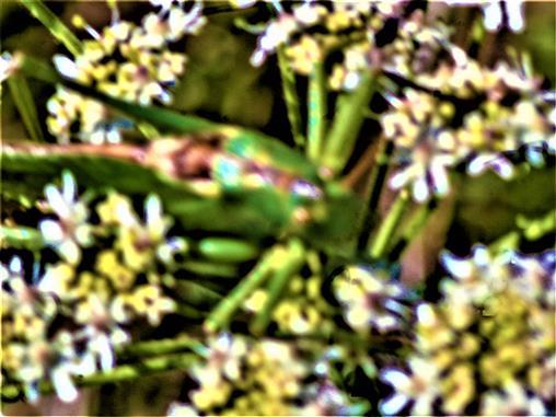 Großes oder Grünes Heupferd(Tettigonia viridissima(L. 1758)) auf Wiesen-Bärenklau(Heracleum sphondylium(L.))
