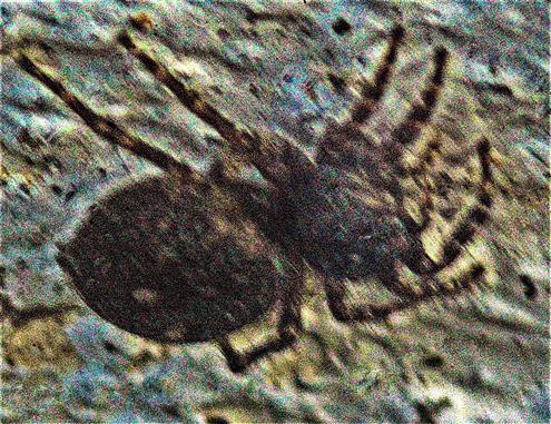 Spaltenkreuzspinne(Nuctenea umbratica(Clerck 1757))