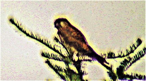 Weiblicher Turmfalke(Falco tinnunculus(L. 1758))