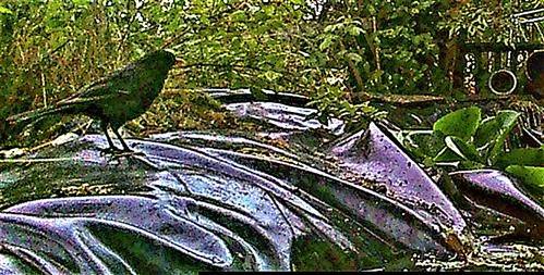 Amselhahn(Turdus merula(L. 1758)) an einem Tümpel(Vogeltränke)