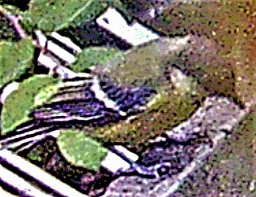 Kohlmeise(Parus major(L. 1758))