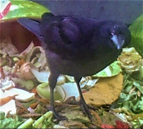 Saatkrähe(Corvus frugilegus(L. 1758))