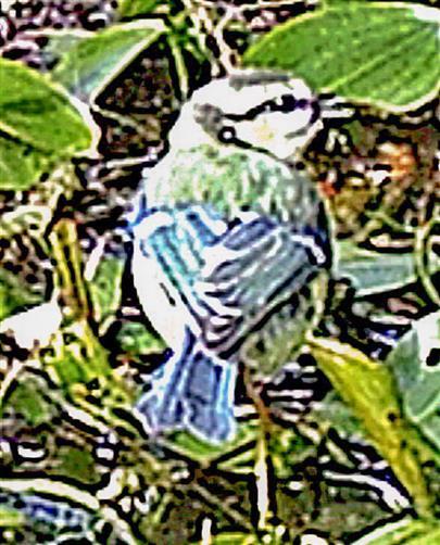 Blaumeischen(Cyanistes caeruleus(L. 1758)) am Tümpel