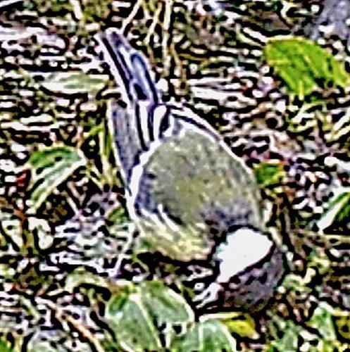 Kohlmeise(Parus major(L. 1758)) wohl auf Insektenjagd