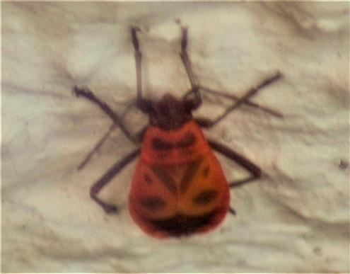 Gemeine Feuerwanze(Pyrrhosoma apterus(L. 1758))