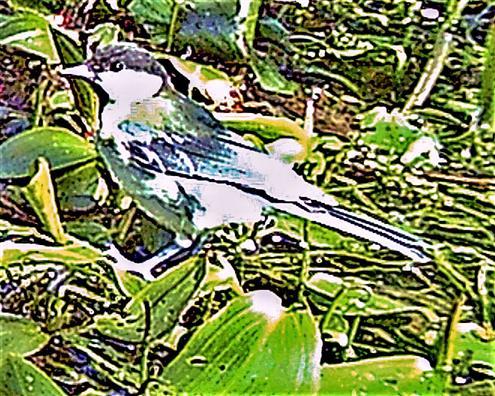 Kohlmeise(Parus major(L. 1758)) auf einem Tümpel