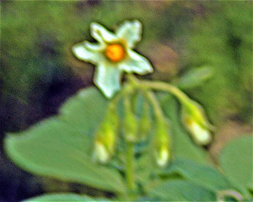 Blüte einer Kartoffel(Solanum tuberosum(L.))