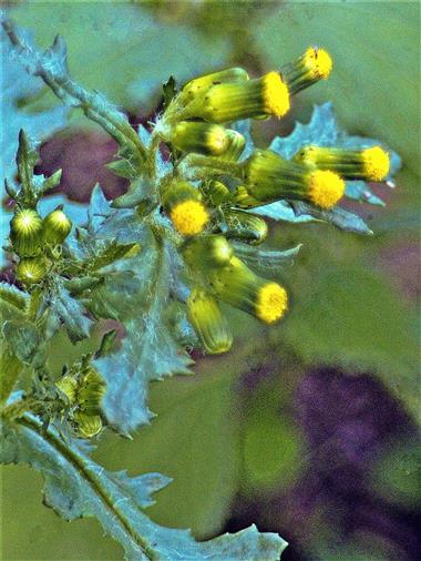 Gewöhnliches Greiskraut(Senecio vulgaris(L.))
