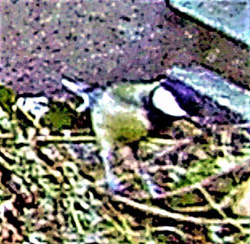 Kohlmeise(Parus major(L. 1758)) auf einem Komposthaufen