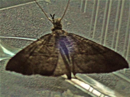 Kleiner Frostspanner(Operophtera brumata(L. 1758))(männlich)
