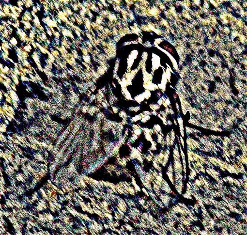 Gefleckte Hausfliege(Graphomya maculata(Scopoli 1763))(weiblich)