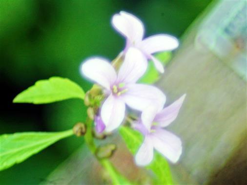 Blüte einer Zwiebeltragenden Zahnwurz(Cardamine bulbifera(L.)Crantz)