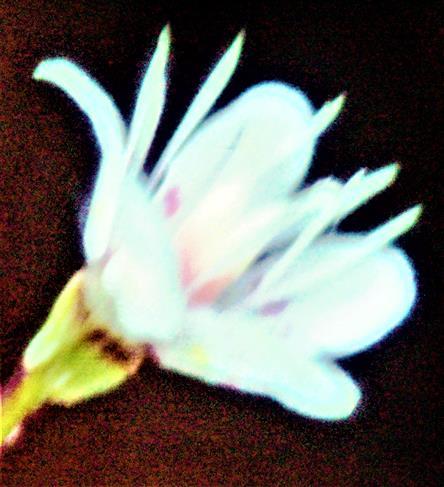 Blüte eines Porzellanblümchens(Saxifraga x urbium(D. A. Webb))