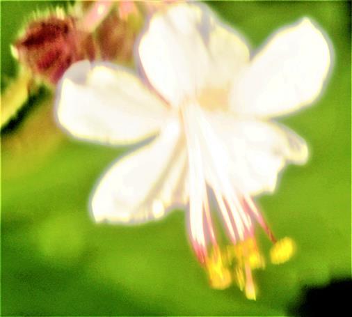 Blüte einer gezüchteten Geraniumart(Geranium cantabrigiense)