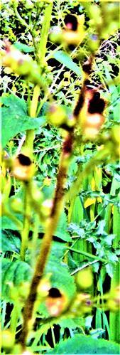 Knotige Braunwurz(Scorodonia nodosa(L.))