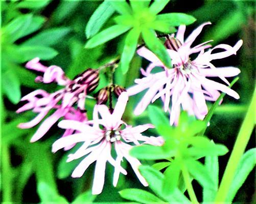Blüten der Kuckucks-Lichtnelke(Lychnis flos-cuculi(L.)Clairv.)