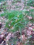 Waldwachtelweizen(Melampyrum sylvaticum(L. ))