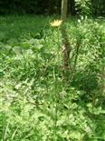 Wiesen-Bocksbart(Tragopogon pratensis(L.))