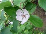 Blüte einer Birnenquitte
