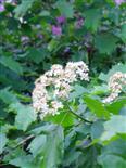 Blüte einer Elsbeere(Sorbus torminalis((L.)Crantz))