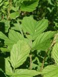 Dornzikade(Centrotus cornutus(L. 1758))