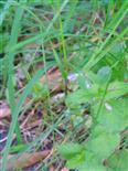 Gemeine Schattenschwebfliege(Baccha elongata(Fabricius 1775))