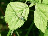 Grünrüssler(Phyllobius) bei der Paarung
