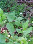 Zecke(Gemeiner Holzbock)(Ixodes ricinus)