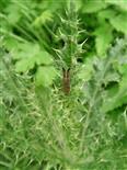 Scheckhorn-Distelbock(Agapanthia villosoviridescens(DE GEER 1775))
