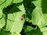 Gemeine Keilfleckschwebfliege(Eristalis pertinax(Scopoli 1763))