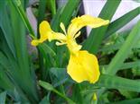 Blüte einer Sumpfschwertlilie(Iris pseudacorus(L.))