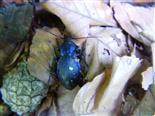 Blauvioletter Waldlaufkäfer(Carabus problematicus(Herbst 1786))