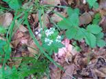 Waldmeister(Galium odoratum(L.))